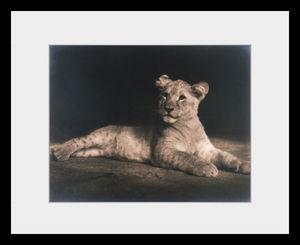 PHOTOBAY - lion cub - Photographie