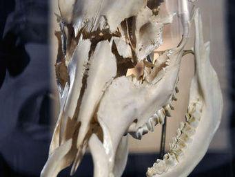 Objet de Curiosite -  - Animal Naturalisé