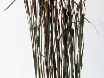 Hortus Verde - typhas - Feuillage Stabilisé