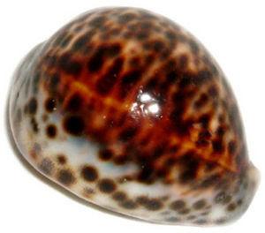 PHILIPPINE VILLAGE IMPORTS - cyprae tigris  - Shellfish