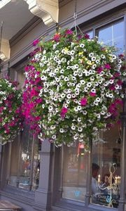 Windowflowers -  - Hanging Basket