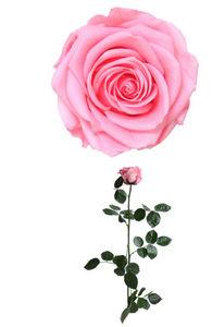Verdissimo - rose à tige premium - Stabilisierte Blume