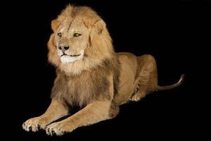 MASAI GALLERY - lion d'asie - Animal Disecado