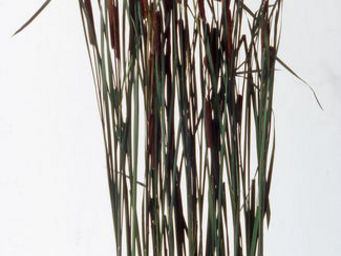Hortus Verde - typhas - Follaje Estabilizado